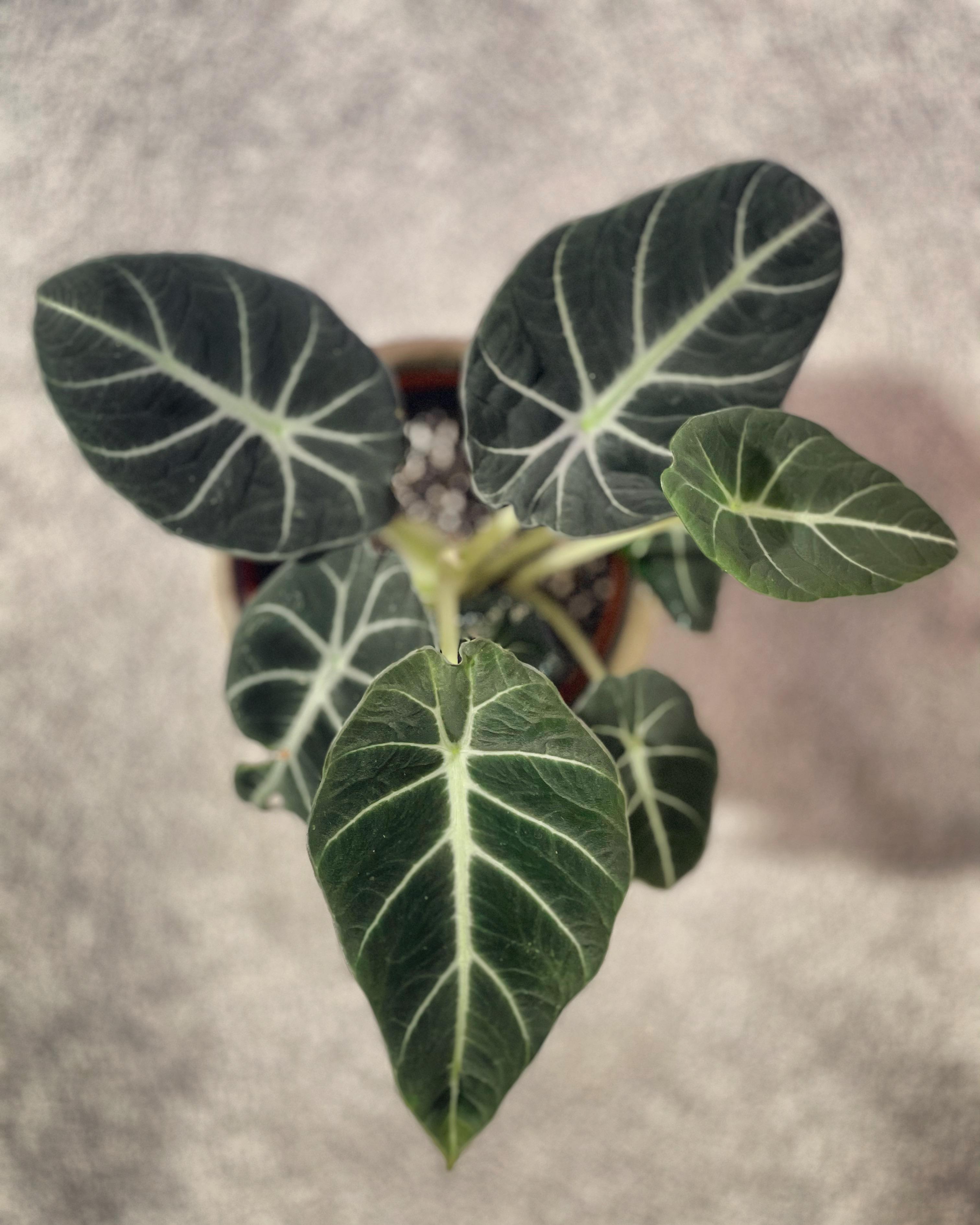 Plant Journal Alocasia Reginula Or Black Velvet Plant Principle